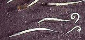 A pinworms gyakran megjelenik a férgek hatékony eltávolítása