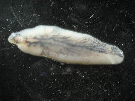 Tmt honlapja (tengeri malacok társasága) - Nyitóoldal - Tengerimalacok élősködők okozta betegségei