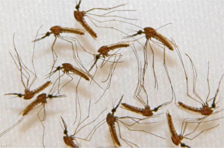 Szúnyogok mikrosporid parazitái - veddolcson.hu