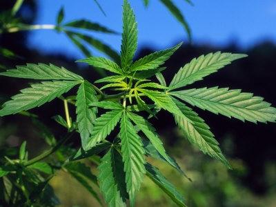 Segít e a méregtelenítés a marihuánát