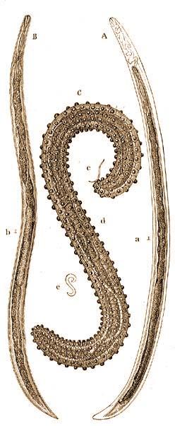 parazita szalagféreg kezelés