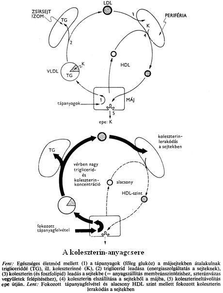 Ascaris humán végső és közbenső fogadó - Kezelés