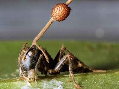 parazita hangya tüdő paraziták embereken tünetek