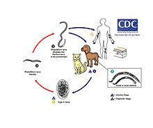 belső paraziták készítményei emberek számára külső és belső paraziták