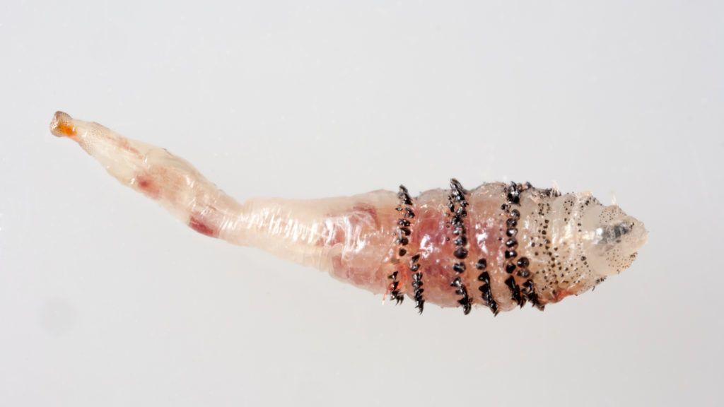 paraziták a bőr alatt, hogyan lehet eltávolítani