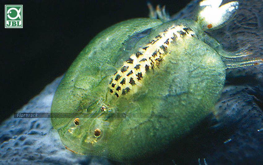 a törpe szalagféreg betegséget okoz