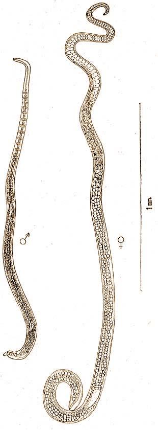 fertőzött szarvasmarha féreg átlátszó paraziták curezone