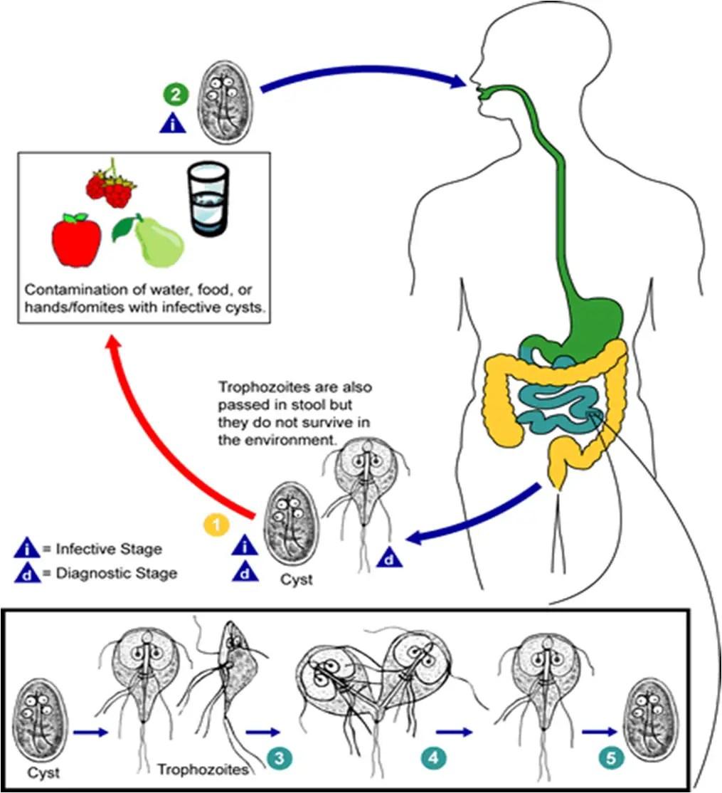 giardia disease symptoms férgek tabletták kezelésre