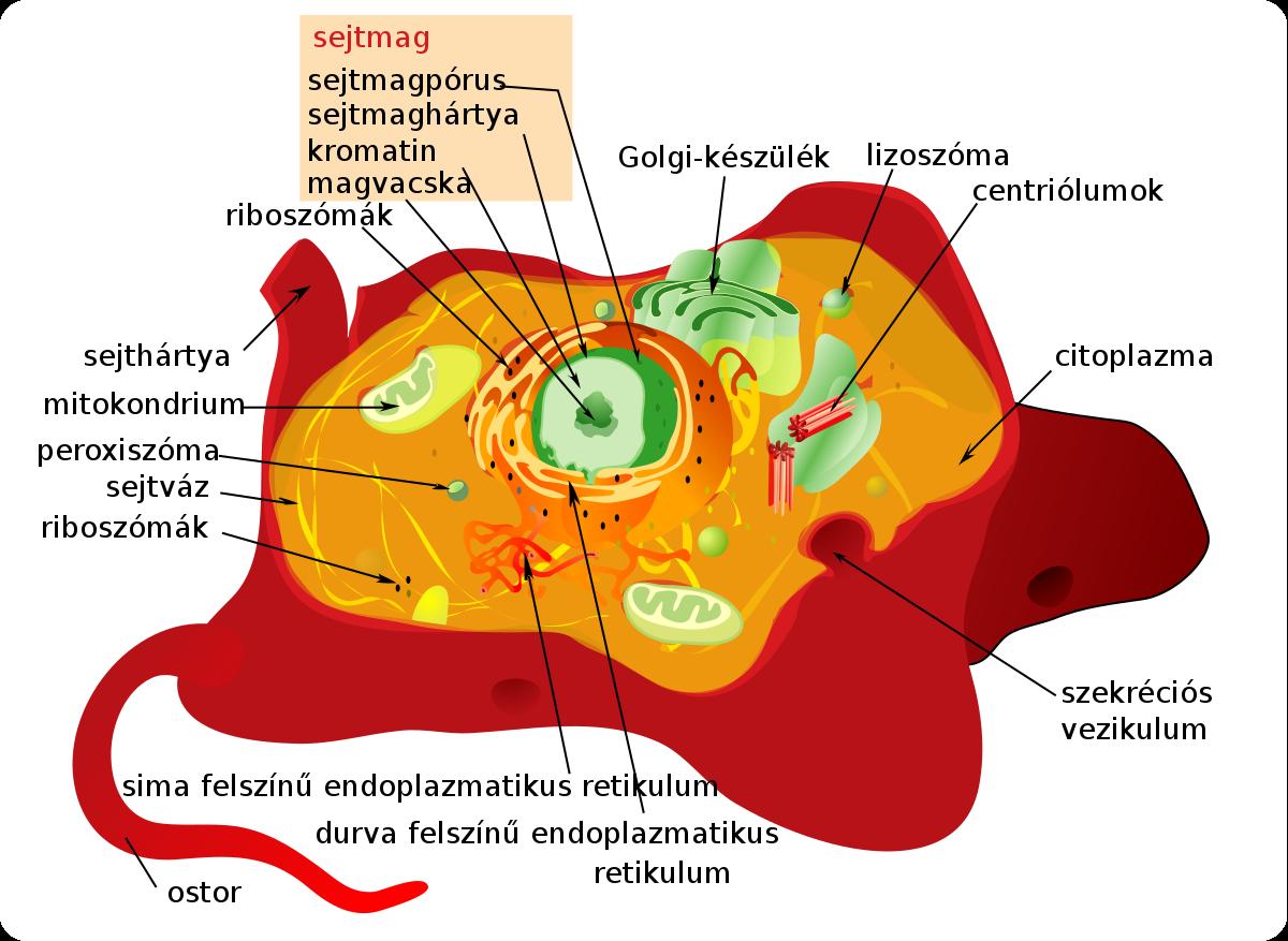 típusú helminták az emberi kromoszómákban