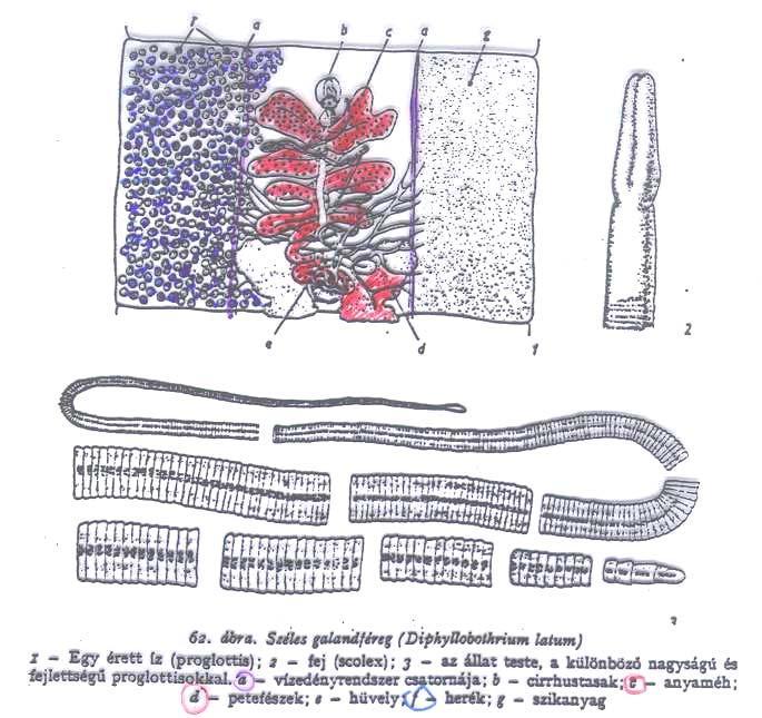 Az orvosi mikrobiológia tankönyve | Digitális Tankönyvtár
