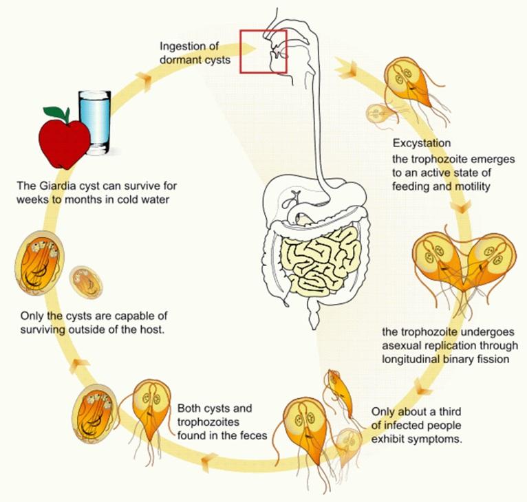 Rizs Giardia-ból