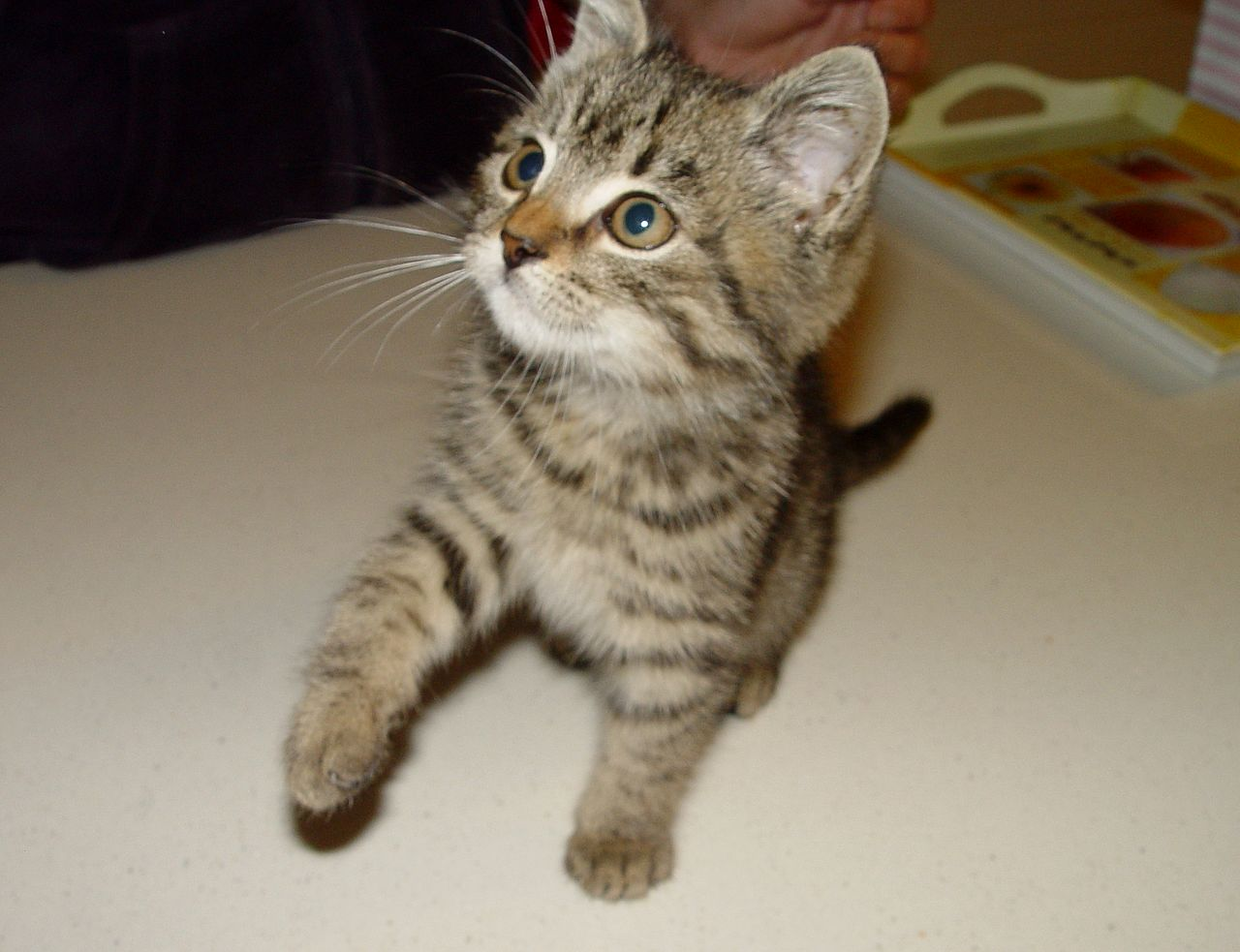 Kisállatorvos - Felnőtt macskák esetében elsősorban a galandférgesség veszélyével kell számolnunk.