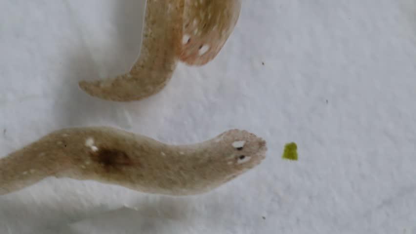 Nem parazita platyhelminthes, Platyhelminths nem parazita