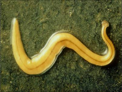 belajar terus biologi filum platyhelminthes giardia agilis