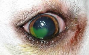Gyógyítja a szem parazitáit