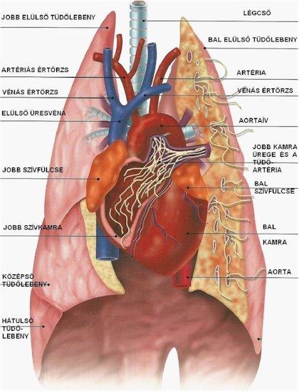 Embert nem öl a szívféreg