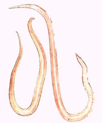 kerekesférgek paraziták kezelése