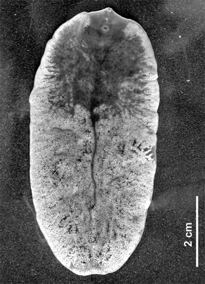 paraziták flukes máj