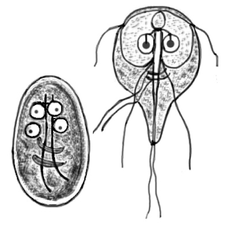 giardia kod ljudi simptomi