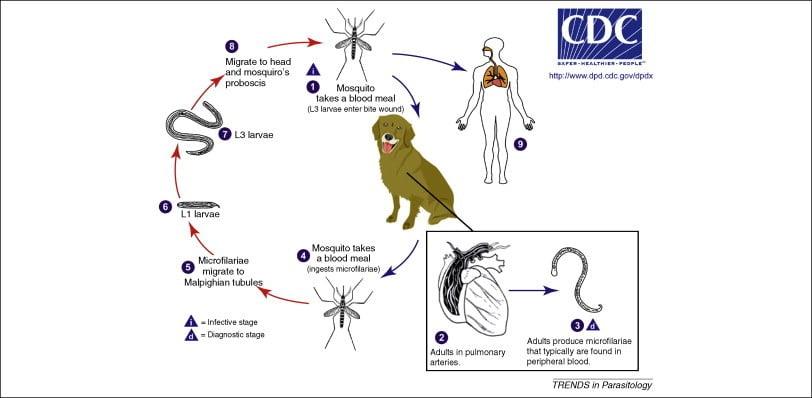 paraziták kezelése az epehólyagban folyékony féreg gyógyszer neve