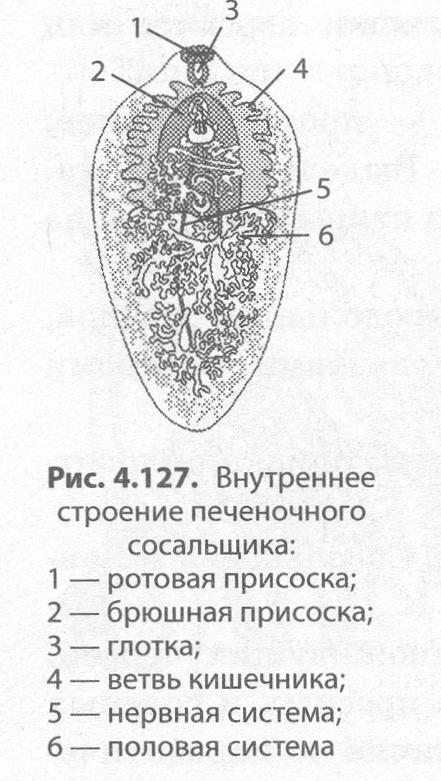 szarvasmarha szalagféreg közbenső gazdaszervezet ember felnőttkori helminták tünetei