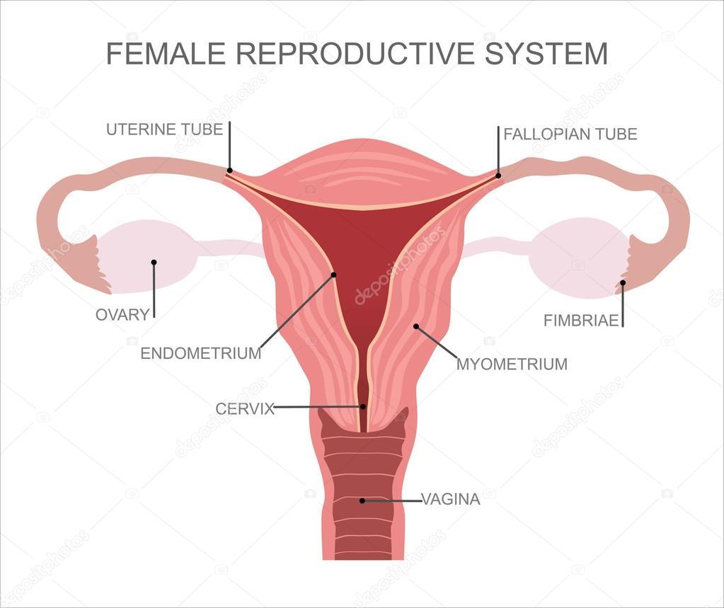 helmint reproduktív rendszer