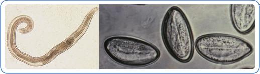 az enterobiosis az egy féregtabletta csomagolásban