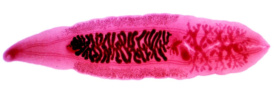 helminths betegség neve