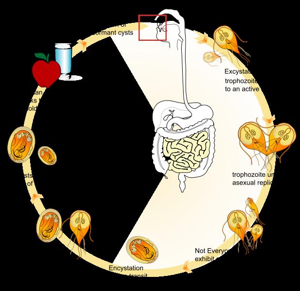 giardia life cycle diagram