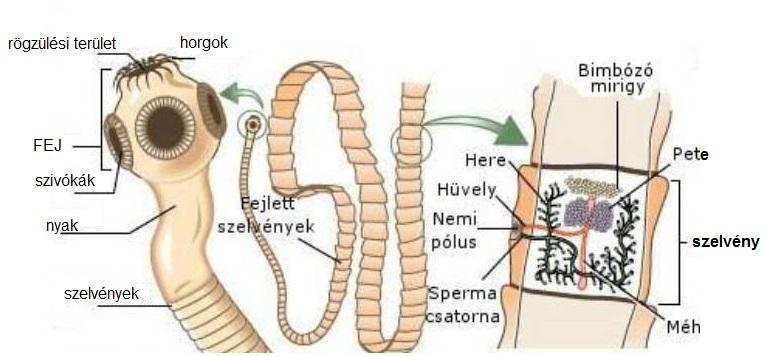 Típusú paraziták az emberi bőrön