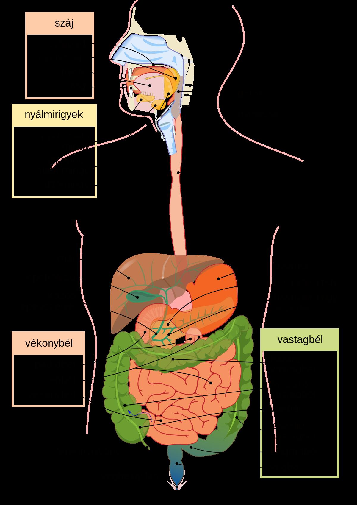 van- e a platyhelminták emésztőrendszere? férgek az arcon
