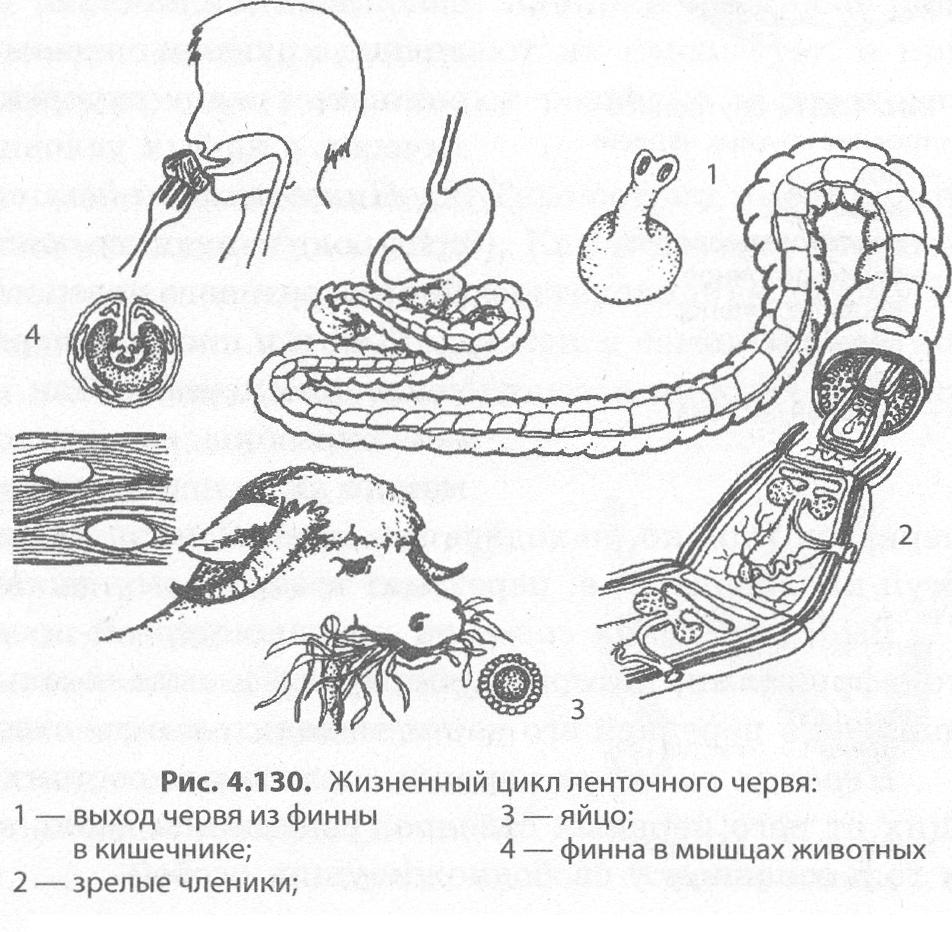 bika szalagféreg eltávolítása