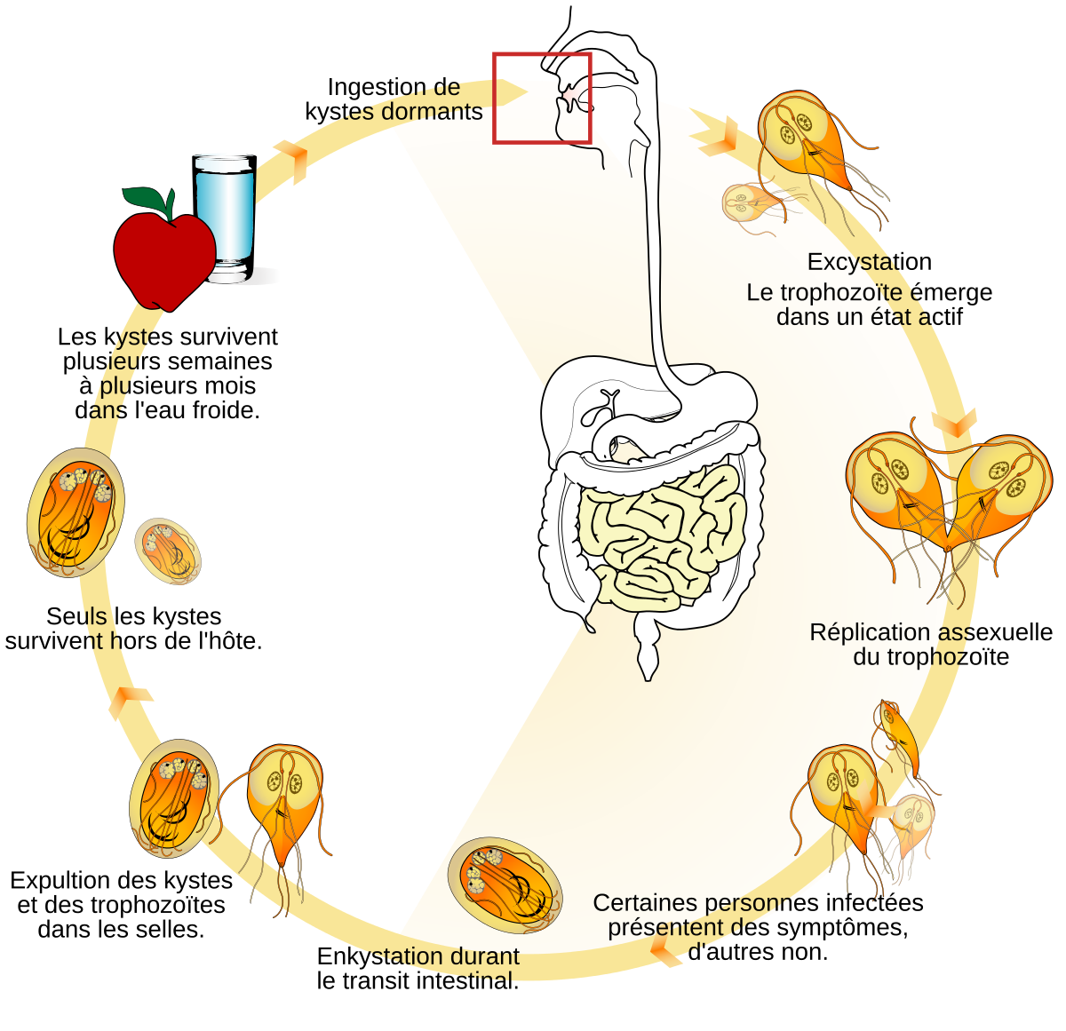 giardia life cycle diagram
