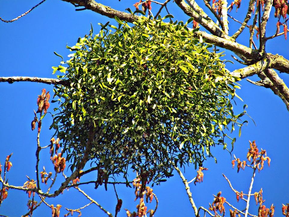 paraziták a fákon
