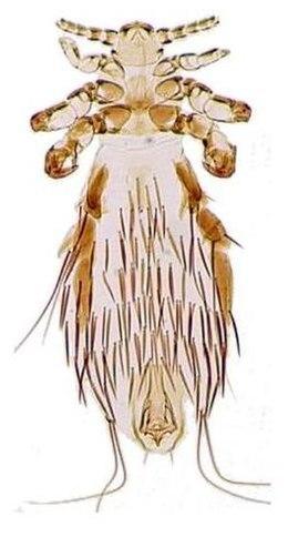 Külső élősködők - 1. rész Ízeltlábúak által terjesztett paraziták