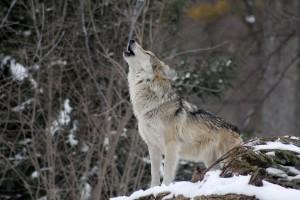 farkas paraziták állatokban