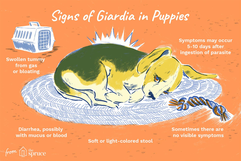 Giardiosis kutyákban és macskákban - Hungarovet Tudásbázis