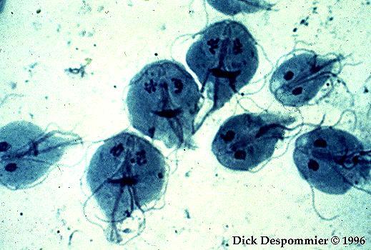 protozoan férgek