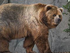 Barna medve – Wikipédia