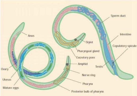 kelas dalam filum nemathelminthes férgek, mint a fekete pöttyök
