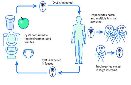giardia allopathic medicine galandféreg paraziták