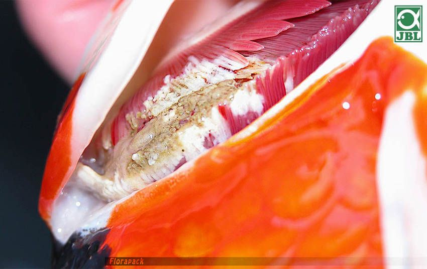 törpe szalagféreg betegség
