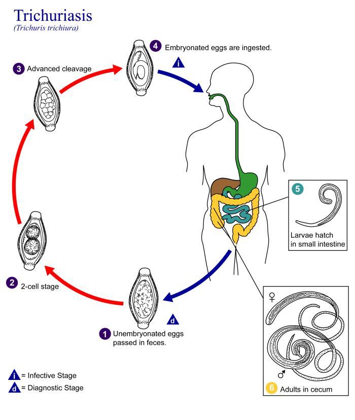 a helminthiasis megelőzése és kezelése