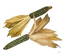 Kukorica LEVÉLBETEGSÉGEK | DEKALB ®