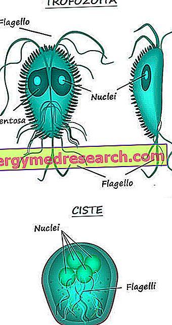 paraziták házigazda fájl a széklet mikroszkópos vizsgálata paraziták szempontjából