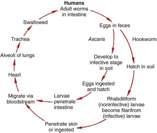aszcariasis patogenezis