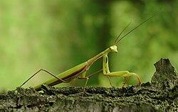 az imádkozó sáska parazitákkal rendelkezik