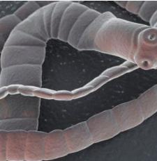 pinworms érési időszak