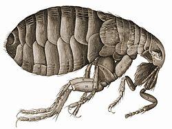 szúró bolhás paraziták