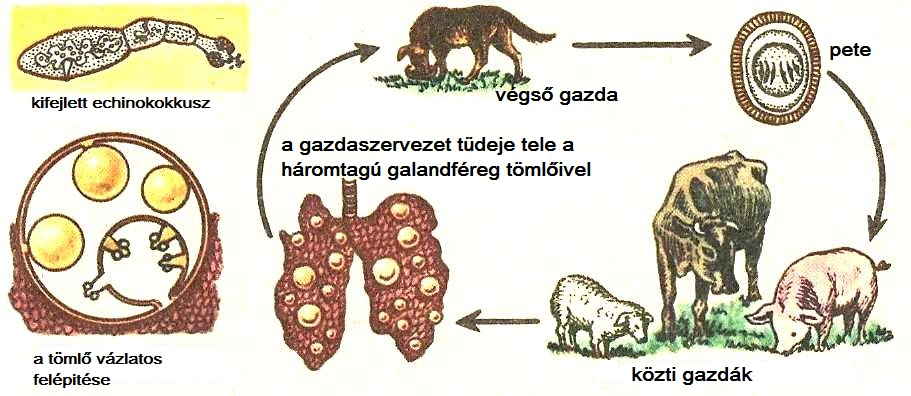 Orsóférgek – Wikipédia